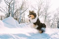 Αστείο νέο τσοπανόσκυλο Shetland, Sheltie, τρέξιμο κόλλεϊ γρήγορα υπαίθριο στο χιονώδες πάρκο Η εύθυμη Pet στο χειμερινό δάσος στοκ φωτογραφίες με δικαίωμα ελεύθερης χρήσης