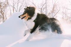 Αστείο νέο τσοπανόσκυλο Shetland, Sheltie, τρέξιμο κόλλεϊ γρήγορα υπαίθριο στο χιονώδες πάρκο Η εύθυμη Pet στο χειμερινό δάσος στοκ φωτογραφίες