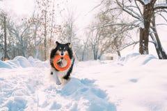 Αστείο νέο τσοπανόσκυλο Shetland, Sheltie, παιχνίδι κόλλεϊ με το παιχνίδι δαχτυλιδιών υπαίθριο στο χιονώδες πάρκο, χειμερινή εποχ στοκ εικόνες με δικαίωμα ελεύθερης χρήσης