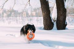 Αστείο νέο τσοπανόσκυλο Shetland, Sheltie, παιχνίδι κόλλεϊ με το παιχνίδι δαχτυλιδιών υπαίθριο στο χιονώδες πάρκο, χειμερινή εποχ στοκ εικόνα
