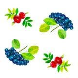 Αφηρημένη απεικόνιση watercolor rosehip των λουλουδιών και των μούρων με τα φύλλα και μαύρο chokeberry η ανασκόπηση απομόνωσε το  διανυσματική απεικόνιση