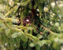 Αυγά στη φωλιά μέσα στο αργυροειδές δέντρο έλατου στοκ εικόνα με δικαίωμα ελεύθερης χρήσης