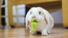 Αυτί Lop λίγο κόκκινο και άσπρο κουνέλι χρώματος, 2 μηνών, πράσινο φύλλο μασήματος - τρόφιμα ζώων και έννοια κατοικίδιων ζώων φιλμ μικρού μήκους