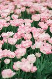 Απίστευτα όμορφες ρόδινες τουλίπες άνοιξη στοκ εικόνα με δικαίωμα ελεύθερης χρήσης