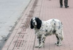 Απομονωμένο περιπλανώμενο αγγλικό σκυλί ρυθμιστών στο sideway, Iznik, Bursa, Τουρκία στοκ εικόνες με δικαίωμα ελεύθερης χρήσης