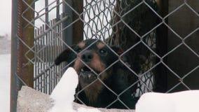 Αποφλοίωση του αλυσοδεμένου σκυλιού το χειμώνα στο χιόνι κλείστε επάνω απόθεμα βίντεο