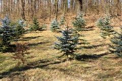 Απόθεμα φύτευσης των δέντρων πεύκων στοκ εικόνες
