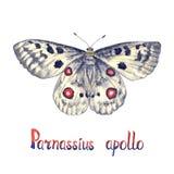 Απόλλωνας ή βουνό απόλλωνας Parnassius απόλλωνας, χρωματισμένη χέρι απεικόνιση watercolor με την επιγραφή διανυσματική απεικόνιση