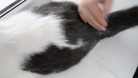 Απώλεια γουνών, προβλήματα υγείας γατών, που κτενίζει μια γάτα απόθεμα βίντεο