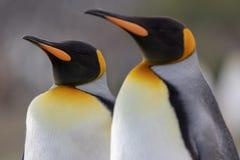 βασιλιάς penguin Μια κινηματογράφηση σε πρώτο πλάνο ενός κεφαλιού βασιλιάδων penguin στοκ εικόνες