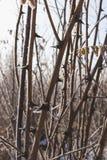 Βελόνες ακακιών που καλύπτονται με τη φύση hoarfrost το χειμώνα στοκ εικόνες