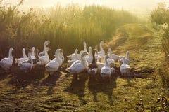 Βιασύνη χήνων θερινού πρόωρη ομιχλώδης πρωινού στη λίμνη στοκ φωτογραφίες