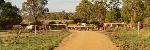 Βοοειδή που πέρα από έναν βρώμικο δρόμο στοκ εικόνα