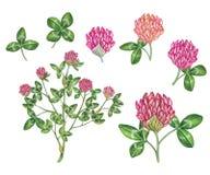 Βοτανικό ρεαλιστικό χέρι watercolor - γίνοντη απεικόνιση trifolium κόκκινου τριφυλλιού pratense απεικόνιση αποθεμάτων