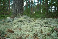Βρύο ταράνδων στο δάσος του πεύκου και των ερυθρελατών Κλείστε επάνω την όψη ενάντια ανασκόπησης μπλε σύννεφων πεδίων άσπρο σε wi στοκ φωτογραφία