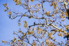 Βόρεια συνεδρίαση τρεμουλιασμάτων σε έναν δυτικό sycamore (racemosa Platanus) κλάδο δέντρων, Sycamore πάρκο αλσών, Livermore, κόλ στοκ φωτογραφία
