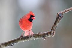 Βόρειος καρδινάλιος μια παγωμένη ημέρα το χειμώνα στοκ εικόνα με δικαίωμα ελεύθερης χρήσης