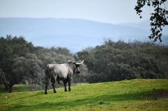 Γενναίος ταύρος στον τομέα με τα μεγάλα κέρατα στοκ εικόνα
