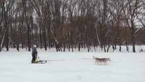Γεροδεμένες ομάδες ελκήθρων σκυλιών που συναγωνίζονται το μήκος σε πόδηα κηφήνων απόθεμα βίντεο