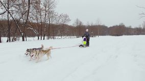 Γεροδεμένες ομάδες ελκήθρων σκυλιών που συναγωνίζονται το μήκος σε πόδηα κηφήνων φιλμ μικρού μήκους