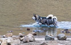Γεροδεμένο τρέξιμο Siberiana στο νερό στοκ φωτογραφίες