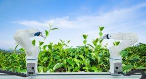 Γεωργικό ρομπότ που συγκομίζει το πράσινο φύλλο τσαγιού στη βιομηχανία γεωργίας, έξυπνο αγρόκτημα 4 τεχνολογίας 0 έννοια στοκ εικόνα
