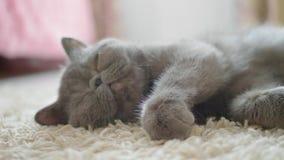 Γκρίζα γάτα ύπνου στο πάτωμα γατών φιλμ μικρού μήκους
