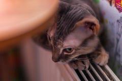 Γκρίζα γάτα peterbald στη μαλακή εστίαση στοκ φωτογραφία