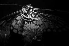 Γραπτή πεταλούδα κατά τη μακρο άποψη στοκ φωτογραφία με δικαίωμα ελεύθερης χρήσης
