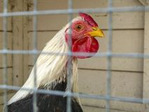 Γραπτό κοτόπουλο με την κόκκινη χτένα στο κλουβί, πίσω από τα κάγκελα στοκ εικόνες με δικαίωμα ελεύθερης χρήσης