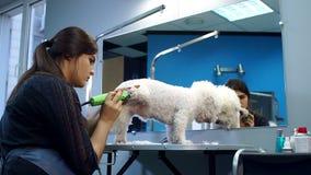 Γυναίκα που τακτοποιεί ένα μικρό σκυλί Bichon Friser με έναν ηλεκτρικό κουρευτή ζώων τρίχας απόθεμα βίντεο