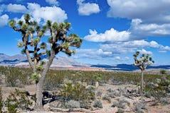 Εθνικά δέντρα του Joshua κονσερβών Mojave στοκ εικόνα με δικαίωμα ελεύθερης χρήσης