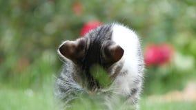 Εικόνα με μια μικρή γάτα στον κήπο που καθαρίζει την όμορφη γούνα της φιλμ μικρού μήκους