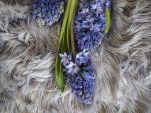 Εικόνα τριών μπλε hyaciths στον γκρίζο τάπητα στοκ φωτογραφίες με δικαίωμα ελεύθερης χρήσης