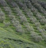 Ελιές στο άλσος ελιών SAN Quirico, Val D' Orcia Τοσκάνη Ιταλία στοκ εικόνες