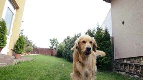 Ενήλικο χρυσό retriever σκυλί που τρέχει και που πηδά στη κάμερα Σκυλί μετά από μια κάμερα, που κάθεται στη χλόη και που θέτει Τρ απόθεμα βίντεο