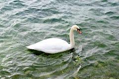 Ενιαίος κύκνος που κολυμπά στη λίμνη στοκ φωτογραφίες