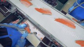 Εργαζόμενοι εγκαταστάσεων που από τα πτερύγια σε μια λωρίδα ψαριών, τοπ άποψη απόθεμα βίντεο