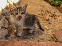 Εύθυμη γάτα γατακιών βαμβακερού υφάσματος τρίχρωμη στοκ εικόνες με δικαίωμα ελεύθερης χρήσης