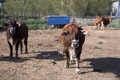 Εσωτερικό βοοειδή ή βόδι, ευρωπαϊκά βοοειδή στοκ φωτογραφία με δικαίωμα ελεύθερης χρήσης