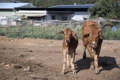 Εσωτερικό βοοειδή ή βόδι, ευρωπαϊκά βοοειδή στοκ εικόνες με δικαίωμα ελεύθερης χρήσης
