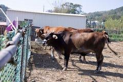 Εσωτερικό βοοειδή ή βόδι, ευρωπαϊκά βοοειδή στοκ φωτογραφία