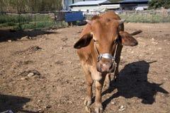 Εσωτερικό βοοειδή ή βόδι, ευρωπαϊκά βοοειδή στοκ εικόνες
