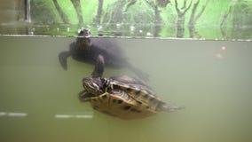 Ευρωπαϊκή χελώνα λιμνών και κόκκινος έχων νώτα ολισθαίνων ρυθμιστής λιμνών στο terrarium απόθεμα βίντεο