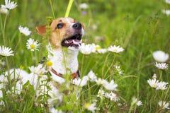 Ευτυχές σκυλί σε ένα πράσινο λιβάδι στοκ εικόνες με δικαίωμα ελεύθερης χρήσης