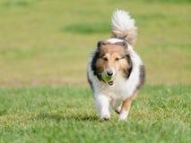 Ευτυχές παιχνίδι σκυλιών κατοικίδιων ζώων με τη σφαίρα στον πράσινο χορτοτάπητα χλόης, εύθυμο τσοπανόσκυλο Shetland που ανακτά πί στοκ φωτογραφίες με δικαίωμα ελεύθερης χρήσης