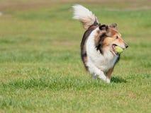 Ευτυχές παιχνίδι σκυλιών κατοικίδιων ζώων με τη σφαίρα στον πράσινο χορτοτάπητα χλόης, εύθυμο τσοπανόσκυλο Shetland που ανακτά πί στοκ φωτογραφία με δικαίωμα ελεύθερης χρήσης