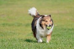Ευτυχές παιχνίδι σκυλιών κατοικίδιων ζώων με τη σφαίρα στον πράσινο χορτοτάπητα χλόης, εύθυμο τσοπανόσκυλο Shetland που ανακτά πί στοκ εικόνα με δικαίωμα ελεύθερης χρήσης