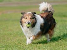 Ευτυχές παιχνίδι σκυλιών κατοικίδιων ζώων με τη σφαίρα στον πράσινο χορτοτάπητα χλόης, εύθυμο τσοπανόσκυλο Shetland που ανακτά πί στοκ εικόνες με δικαίωμα ελεύθερης χρήσης