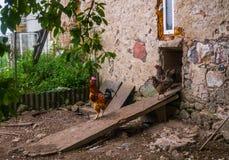 Ζήστε σπιτικά κοτόπουλα στο κατώφλι στο χωριό στοκ εικόνες με δικαίωμα ελεύθερης χρήσης